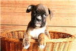 Picture of Beatrice / Boxer