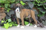 Picture of Lilac / Boxer