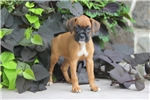 Picture of Lucky / Boxer