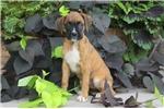 Picture of Lavina / Boxer