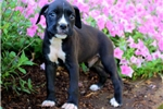 Picture of Harvey / Boxer