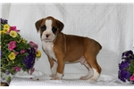 Picture of Tucker / Boxer