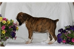 Picture of Trixie / Boxer