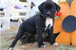 Picture of Macy / Boxer