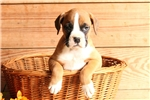 Picture of Baxter / Boxer