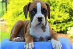 Picture of Elsie / Boxer