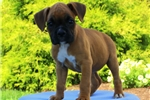 Picture of Emily / Boxer