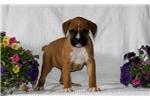 Picture of Tasha / Boxer