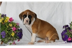 Picture of Theo / Boxer