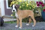 Picture of Sasha / Boxer