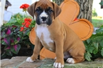 Picture of Max / Boxer