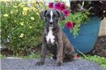 Picture of Samson / Boxer