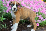 Picture of Harold / Boxer