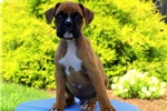 Picture of Evergreen / Boxer