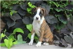 Picture of Lilly / Boxer