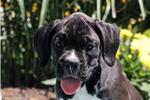 Picture of Annie / Boxer