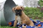 Picture of Tessa / Boxer