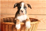 Picture of Butch / Boxer