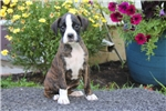 Picture of Sally / Boxer