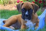Picture of Esther / Boxer