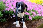 Picture of Harper / Boxer