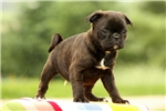 Maggie / Bugg | Puppy at 10 weeks of age for sale