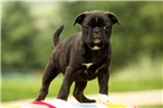 Marsha / Bugg | Puppy at 10 weeks of age for sale