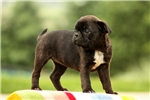 Minnie / Bugg | Puppy at 10 weeks of age for sale