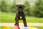 Molly / Bugg | Puppy at 10 weeks of age for sale