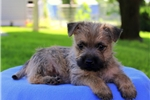 Picture of Roy / Cairn Terrier