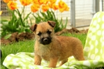 Picture of Rosie / Cairn Terrier