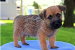 Picture of Rainbow / Cairn Terrier