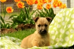 Picture of Roycie / Cairn Terrier