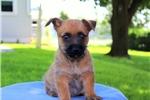 Picture of Renee / Cairn Terrier