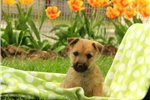 Picture of Roscoe / Cairn Terrier