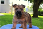 Picture of Roxy / Cairn Terrier