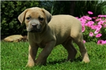 Picture of Kippling / Cane Corso