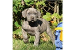 Picture of Benji / Cane Corso