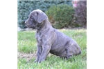 Picture of Betsy / Cane Corso