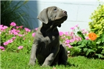 Picture of Kylee / Cane Corso