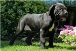 Picture of Kayla / Cane Corso