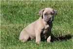 Picture of Beauty / Cane Corso