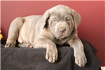 Picture of Rocket / Cane Corso