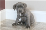 Picture of Rose / Cane Corso