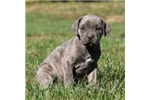 Picture of Betty / Cane Corso