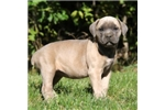 Picture of Bella / Cane Corso