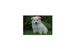 Picture of Casper - American Eskimo Male