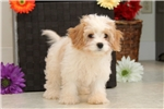 Picture of Duffy / Cavachon