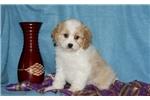 Picture of Baxter / Cavachon
