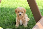 Picture of Penny / Cavachon